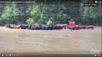 bg-cattle_la_flooding-001