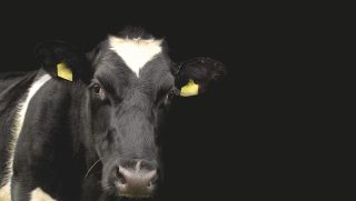 cow-1278889_1920