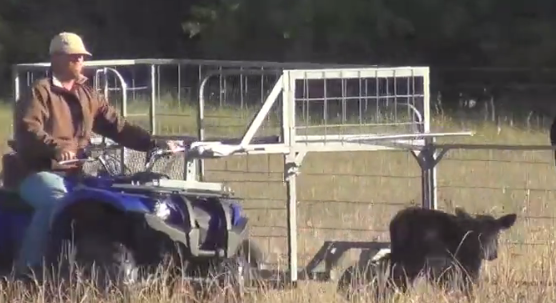 Utv Side By Side >> Safety Zone says its calf-catcher limits stress and dangers | AGDAILY