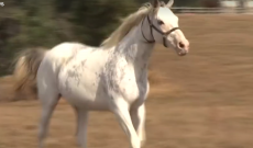 Kentucky farm has amazing herd of white thoroughbreds