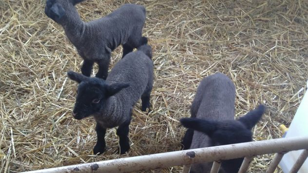 Ewes and Baby Lambs   AGDAILY