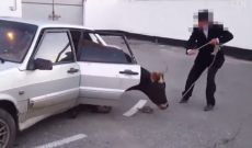 Man pulls cow out of the back seat of a car