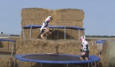 Farmer Derek's 'cows' jumping on trampolines