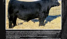 No bull, Angus goes for world record $800K at auction