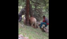 Horse gets stuck between two trees