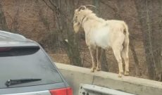 Houdini, the I65 Goat eludes Kentucky authorities for years