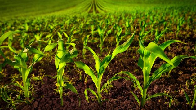 corn soil health
