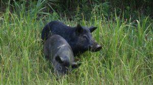 Feral Swine Eradication