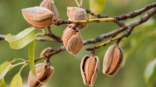 almond farm