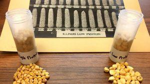corn gene