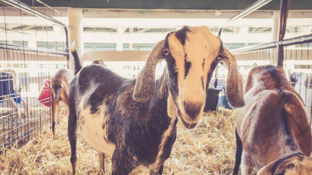 goats county fair