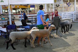 sheep county fair
