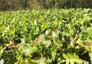 turnips cover crop