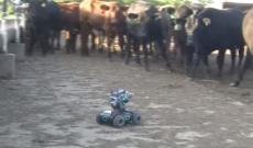 Cows are fascinated with Farmer Derek's new DJI Robomaster