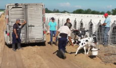 Fair Oaks Farms releases animal welfare progress updates