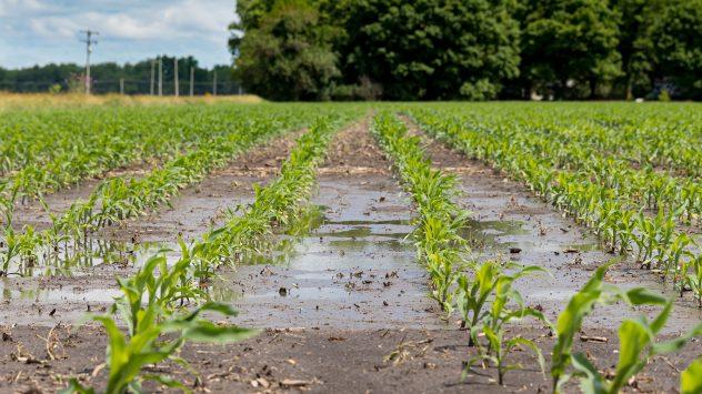 corn flooding