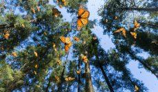 monarch challenge