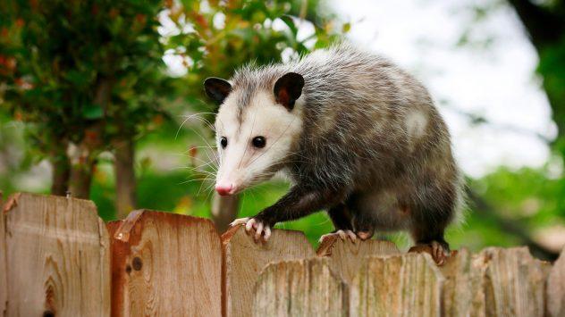 opossums farms