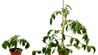 disease resistant tomatoes